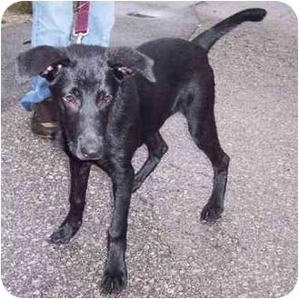 Labrador Retriever Mix Dog for adoption in Overland Park, Kansas - Sasha