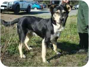 German Shepherd Dog/Husky Mix Dog for adoption in Sacramento, California - Bodhi