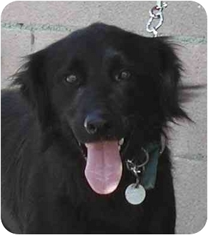 Flat-Coated Retriever/Retriever (Unknown Type) Mix Dog for adoption in El Segundo, California - Buddy-FCR