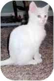 Siamese Kitten for adoption in Arlington, Virginia - Forbes