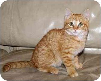 Domestic Shorthair Kitten for adoption in Houston, Texas - Great Pumpkin