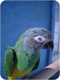 Conure for adoption in Redlands, California - Angel