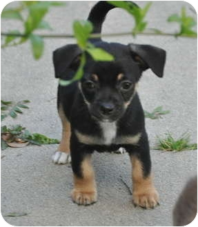 Chihuahua/Spaniel (Unknown Type) Mix Puppy for adoption in La Habra Heights, California - Stewart (Precious Pooches)