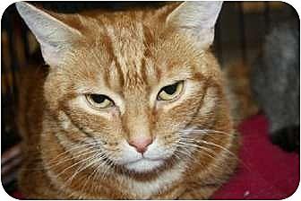 Domestic Shorthair Cat for adoption in Jenkintown, Pennsylvania - Luna