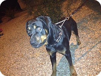 Rottweiler Dog for adoption in Gilbert, Arizona - Hans