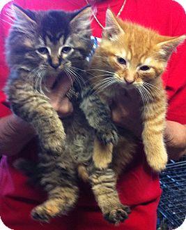 Domestic Shorthair Kitten for adoption in batlett, Illinois - Kittens