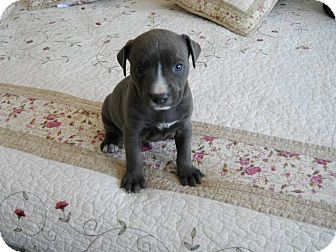 Labrador Retriever Mix Puppy for adoption in Oak Brook, Illinois - Huey