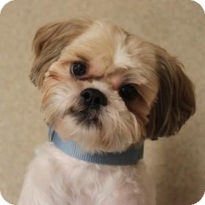 Puppy Dog Breeds Photos  |Lhasa Dog Mix