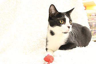 Domestic Shorthair Cat for adoption in Ortonville, Michigan - Siri