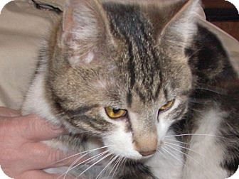 Calico Kitten for adoption in Cut Bank, Montana - Twixy