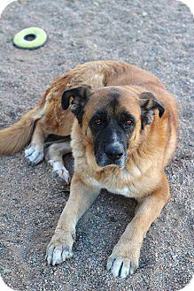 Bernese Mountain Dog Mix Dog for adoption in Chino Valley, Arizona - Maya
