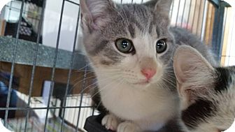 Domestic Shorthair Cat for adoption in China, Michigan - Beckett