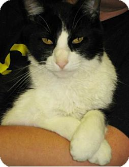 Domestic Shorthair Cat for adoption in Parkville, Missouri - Mew