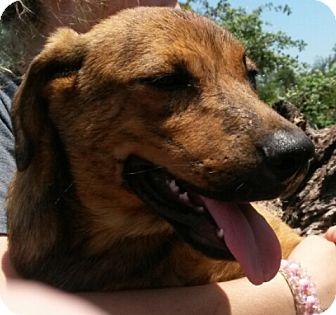 Mountain Cur/Labrador Retriever Mix Puppy for adoption in East Hartford, Connecticut - Apache