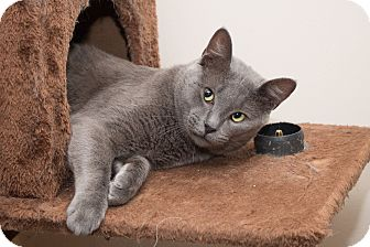Russian Blue Cat for adoption in Chicago, Illinois - Skylar