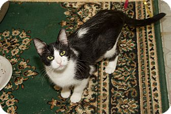 Domestic Shorthair Cat for adoption in Chicago, Illinois - Marilyn Monroe