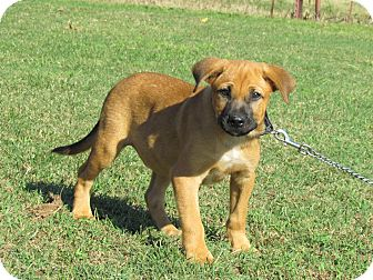 Labrador Retriever/Hound (Unknown Type) Mix Puppy for adoption in Bedminster, New Jersey - RAFE