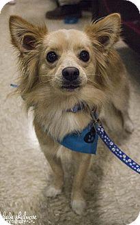 Pomeranian Mix Dog for adoption in Charlotte, North Carolina - Nico