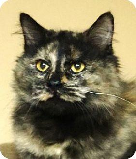 Calico Cat for adoption in Medford, Massachusetts - Trini