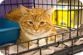 Domestic Shorthair Cat for adoption in Seneca, South Carolina - Thomas $75