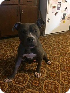 Pit Bull Terrier Mix Dog for adoption in Prospect,, Kentucky - Pilgram