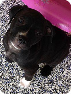 Labrador Retriever/Pit Bull Terrier Mix Puppy for adoption in Washington, Pennsylvania - Harper