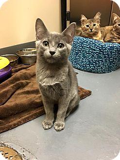 Domestic Shorthair Kitten for adoption in Chicago, Illinois - Barbara