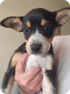 Australian Cattle Dog/Border Collie Mix Puppy for adoption in Cave Creek, Arizona - Willow