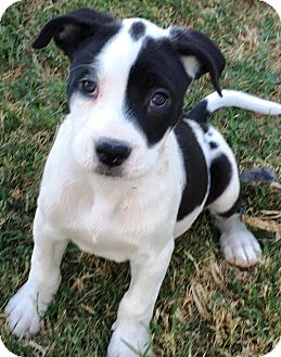 American Staffordshire Terrier Mix Puppy for adoption in Colmar, Pennsylvania - Jersie