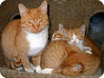 Domestic Shorthair Cat for adoption in Kingston, Ontario - Cougar Coontail