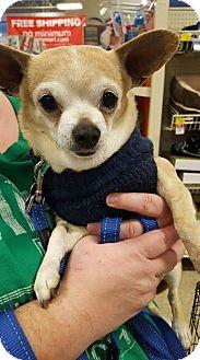 Chihuahua Mix Dog for adoption in Hazel Park, Michigan - Bear