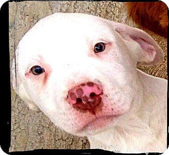 Dalmatian/Pit Bull Terrier Mix Puppy for adoption in Austin, Texas - Ringo