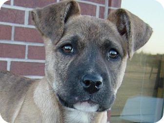 Boxer Mix Puppy for adoption in Cushing, Oklahoma - MINNIE adopted