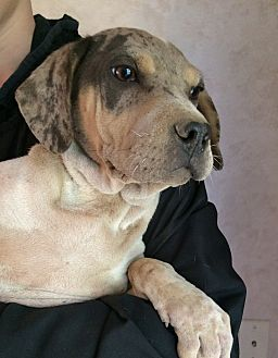 Shar Pei/Catahoula Leopard Dog Mix Puppy for adoption in SOUTHINGTON, Connecticut - Dakota