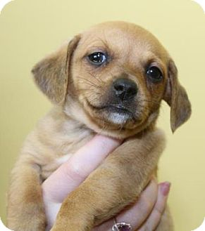 Chihuahua/Dachshund Mix Puppy for adoption in Milford, New Jersey - Chili