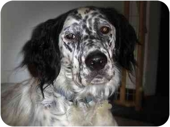 English Setter/Setter (Unknown Type) Mix Dog for adoption in Wood Dale, Illinois - Rex- ADOPTION PENDING!