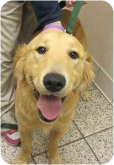 Golden Retriever Dog for adoption in Cleveland, Ohio - Hardy