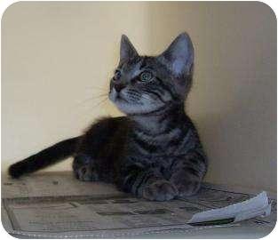 Domestic Shorthair Kitten for adoption in Larned, Kansas - Simba