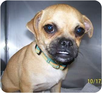 Pug/Chihuahua Mix Dog for adoption in Plainfield, Connecticut - Tinker