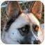 Photo 1 - Shepherd (Unknown Type)/Husky Mix Dog for adoption in Hayden, Idaho - Sammie