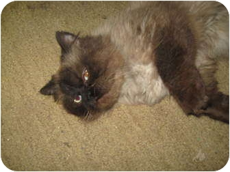 Persian Kitten for adoption in Trevose, Pennsylvania - Merang