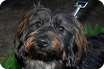 Shih Tzu/Dachshund Mix Dog for adoption in Lexington, Kentucky - Gi Gi