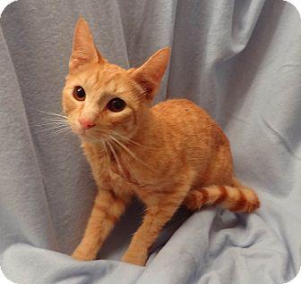 Domestic Shorthair Kitten for adoption in Bentonville, Arkansas - Scooter