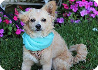 Papillon/Poodle (Miniature) Mix Puppy for adoption in Redondo Beach, California - Fergie