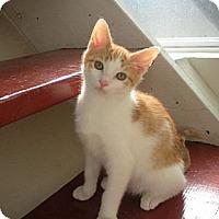 Adopt A Pet :: Shamus - Bayonne, NJ