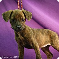 Adopt A Pet :: Vixen - Broomfield, CO