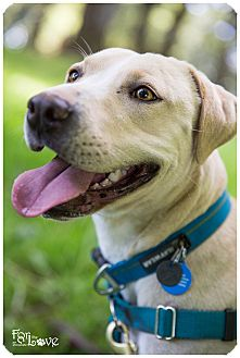 Labrador Retriever/Pit Bull Terrier Mix Dog for adoption in Portland, Oregon - Waffle (foster)