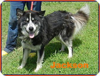 Alaskan Malamute Mix Dog for adoption in Lawrenceburg, Tennessee - Jackson