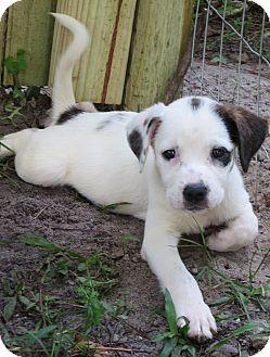 German Shorthaired Pointer/Hound (Unknown Type) Mix Puppy for adoption in West Palm Beach, Florida - Star