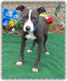 American Pit Bull Terrier Mix Dog for adoption in Marietta, Georgia - BUCKY